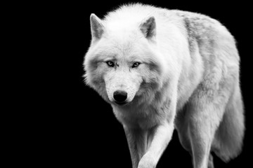Photo sur Plexiglas Loup White wolf with a black background