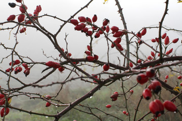 mystic morning with fog and dew over red hawthorn berries