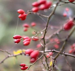 closeup of poetic nature with dewy red berries, hawthorn fruits