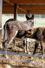 portrait of mother and baby, black domestic donkeys suckling