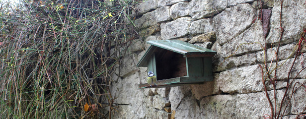 one blue tit on birdhouse in backyard, Cyanistes Caeruleus bird