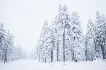 Verschneite Tannenbäume im Winter