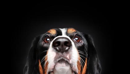 Very close-up picture of a dog looking up against black background