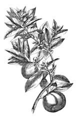Orange Tree twig - Vintage Engraving Illustration