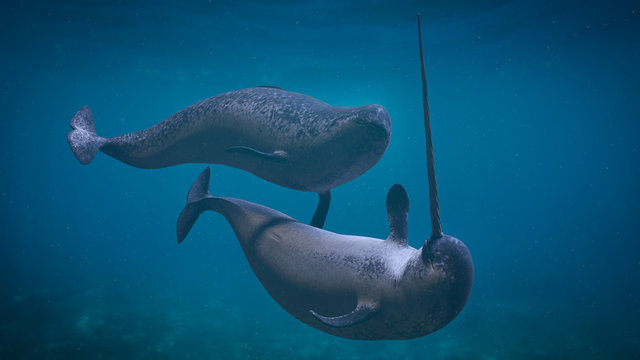 Narwhal couple,  two Monodon monoceros playing in the ocean