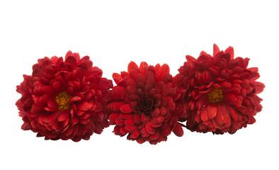 Fotobehang Dahlia chrysanthemum flower