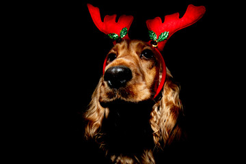 Cocker Spaniel Christmas dressed reindeer isolated on black