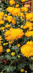 Yellow Sunflower Wallpaper. Full HD Sunflower Image with Green Leaves. Best HD Image for Mobile Phones , Laptops and PCs.