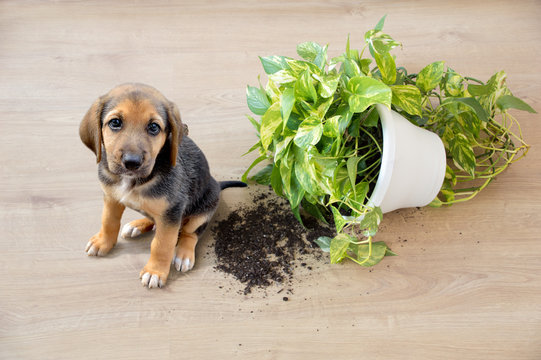 Mischievous toy dog and overthrown house plant indoors