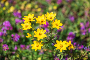 Yellow wildflowers in the Ethiopian highlands
