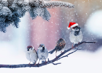 Wall Mural - funny little birds sparrows sitting under fir branches under snow in the Christmas garden in Santa's red hat