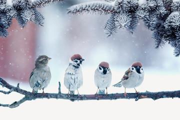 Fototapete - funny little birds sparrows sitting under fir branches under snow in new year garden
