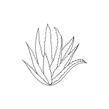 Aloe vera plant isolated on a white background. Vector hand drawn illustration.