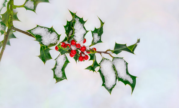 Red christmas holly berries, Ilex aquifolium, on a twig with spiny green leaves covered with snow in early winter, Germany