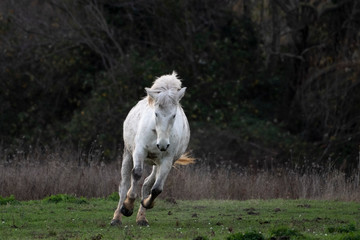 Wild camargue horse gallopping