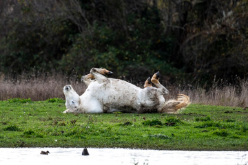 Wild camargue horse rolling on its back
