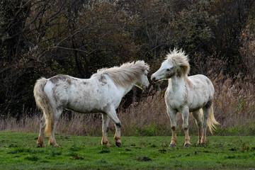 Wild camargue horses playing