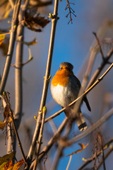 A robin staring on a branch