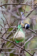 A titmouse catches the food