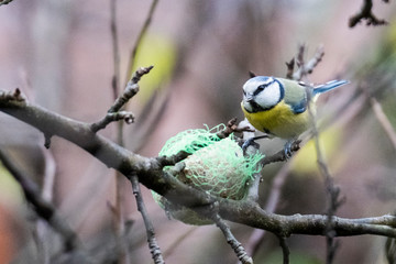 A titmouse eating