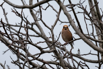 A male of hawfinch sitting on a branch