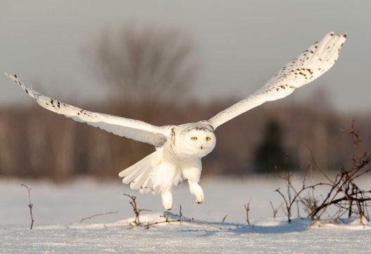 Snowy Owl taking flight, Ontario Canada