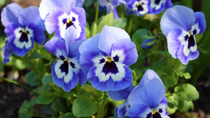 Purple pansies. Violet spring flowers