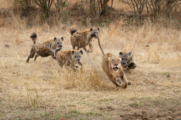 A lioness, Panthera leo, runs with ears back and mouth open from spotted hyenas, Crocuta crocuta