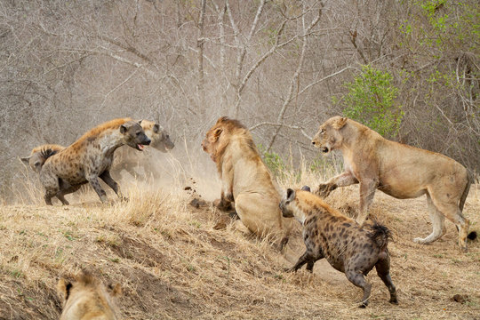 Spotted hyenas, Crocuta crocuta, attacking a pride of lions, Panthera leo