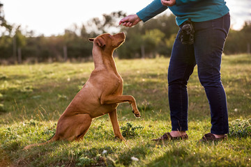 Woman training Vizla dog with a lifted paw sitting in a meadow.