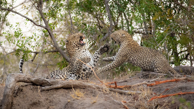 A male and female leopard, Panthera pardus, fight with each other, using their paws with bared teeth.,Londolozi Game Reserve