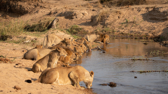 A pride of lions, Panthera leo, crouch down together in a line and drink from a waterhole,Londolozi Game Reserve