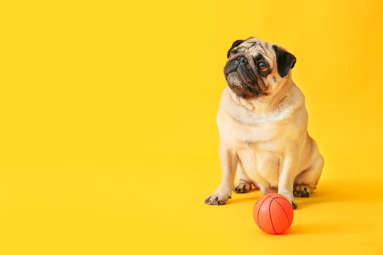 Cute pug dog with toy ball on color background
