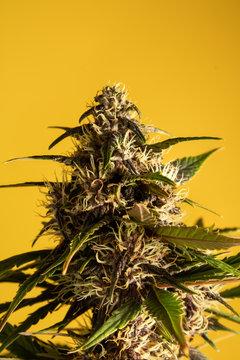 Weed purple kush yellow BG