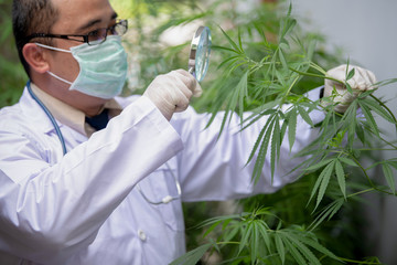 Researchers are investigating the growth of cannabis plants for medical extraction.