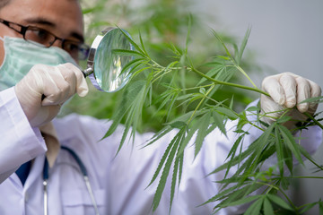 Researchers are studying the extraction of hemp oil for medical use.