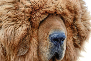 The thick, furry coat of a Tibetan Mastiff lays heavily over the eyes of the guard dog.