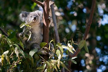 the koala is eating leaves
