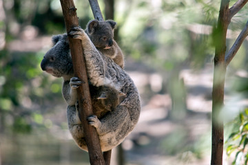 Deurstickers Koala the mother koala has two babies