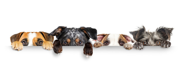 Zelfklevend Fotobehang Hond Dogs Peeking Eyes and Paws Over White Web Banner