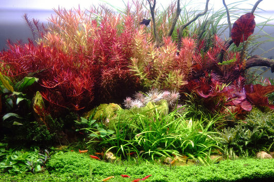 Colorful aquatic plants in Dutch style of Aquascape.