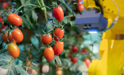 The robot is analysing the problem of tomatoes in greenhouse. Agriculture technology using computer analysis data and visual