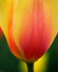 red yellow tulip on green background