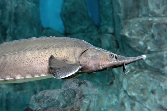 Bester fish. Hybrid of sturgeon and sterlet.