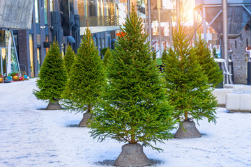 Fresh young fir trees on a city street, Christmas and New Year holiday atmosphere.