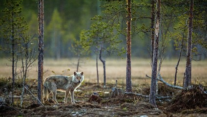 Gray wolf(Canis lupus) at twilight evening in summer.