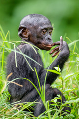 Bonobo Cub  in natural habitat. Close up Portrait  on Green natural background. The Bonobo ( Pan paniscus), called the pygmy chimpanzee. Democratic Republic of Congo. Africa