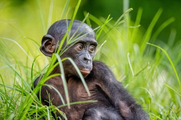 Bonobo Cub  in natural habitat. Close up Portrait  on Green natural background. The Bonobo ( Pan...