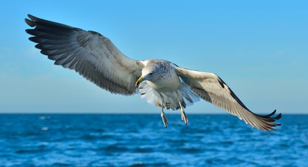 Flying Juvenile Kelp gull (Larus dominicanus), also known as the Dominican gull and Black Backed Kelp Gull. Natural blue ocean water background. False Bay, South Africa