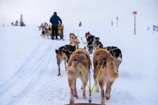 Dog sledding in Jamtland, Sweden